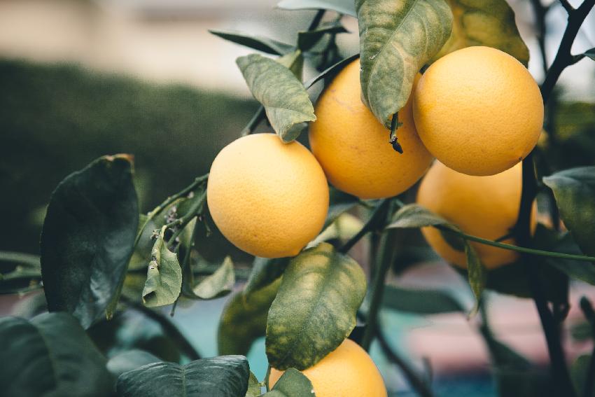 websize lemons-0491.jpg