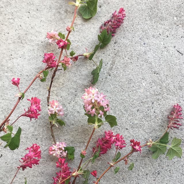 flowering_currant.jpg