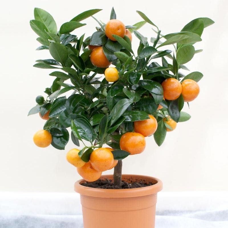mini orange tree -