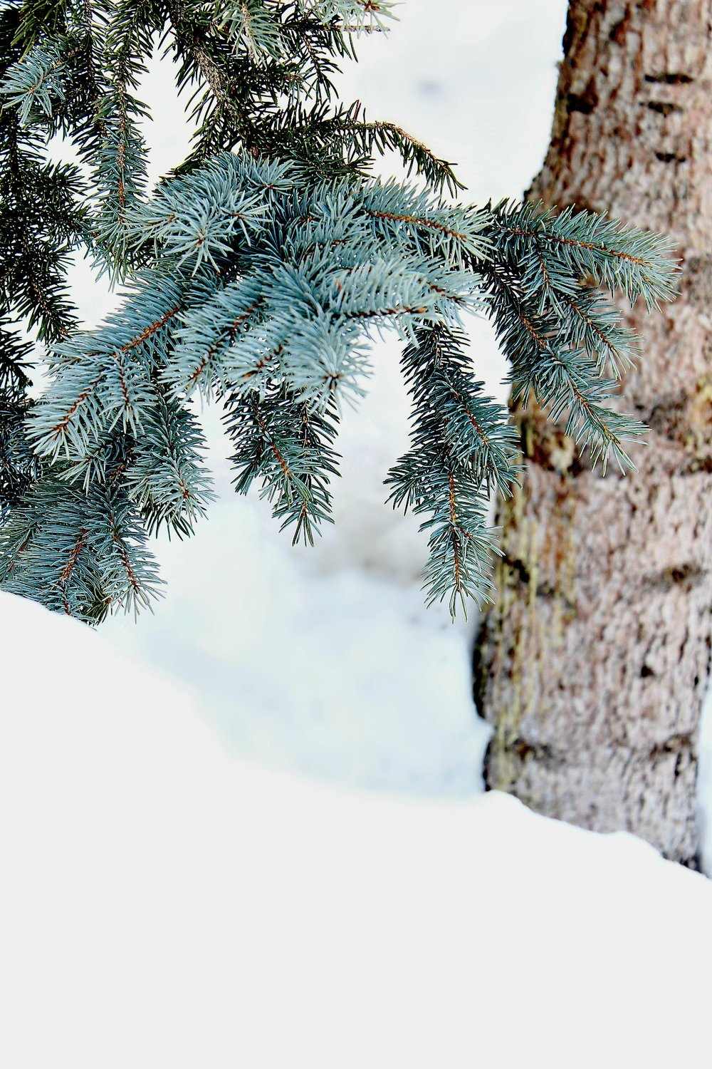 snow-tree-trunk-green-needles-evergreen-tree-dark.jpg