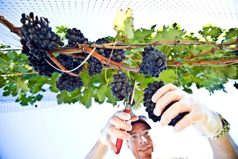 guy chopping grapes from vine .jpg