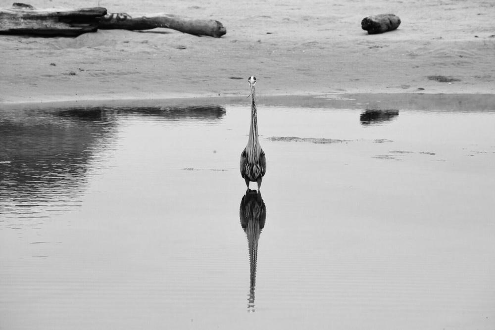 Great blue heron  San Gregorio Beach