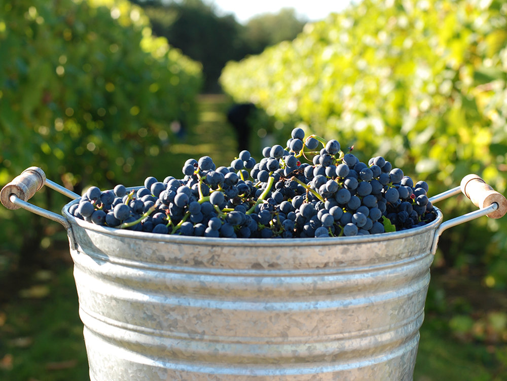 Grapes bucket.jpg