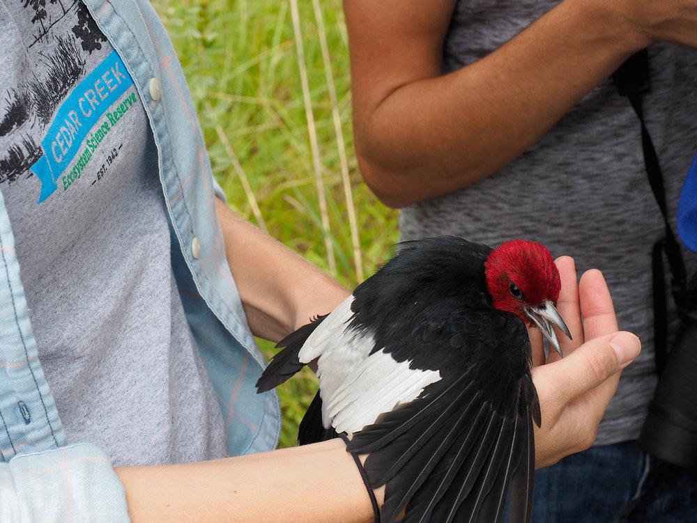 RedHeadedWoodpecker.jpg
