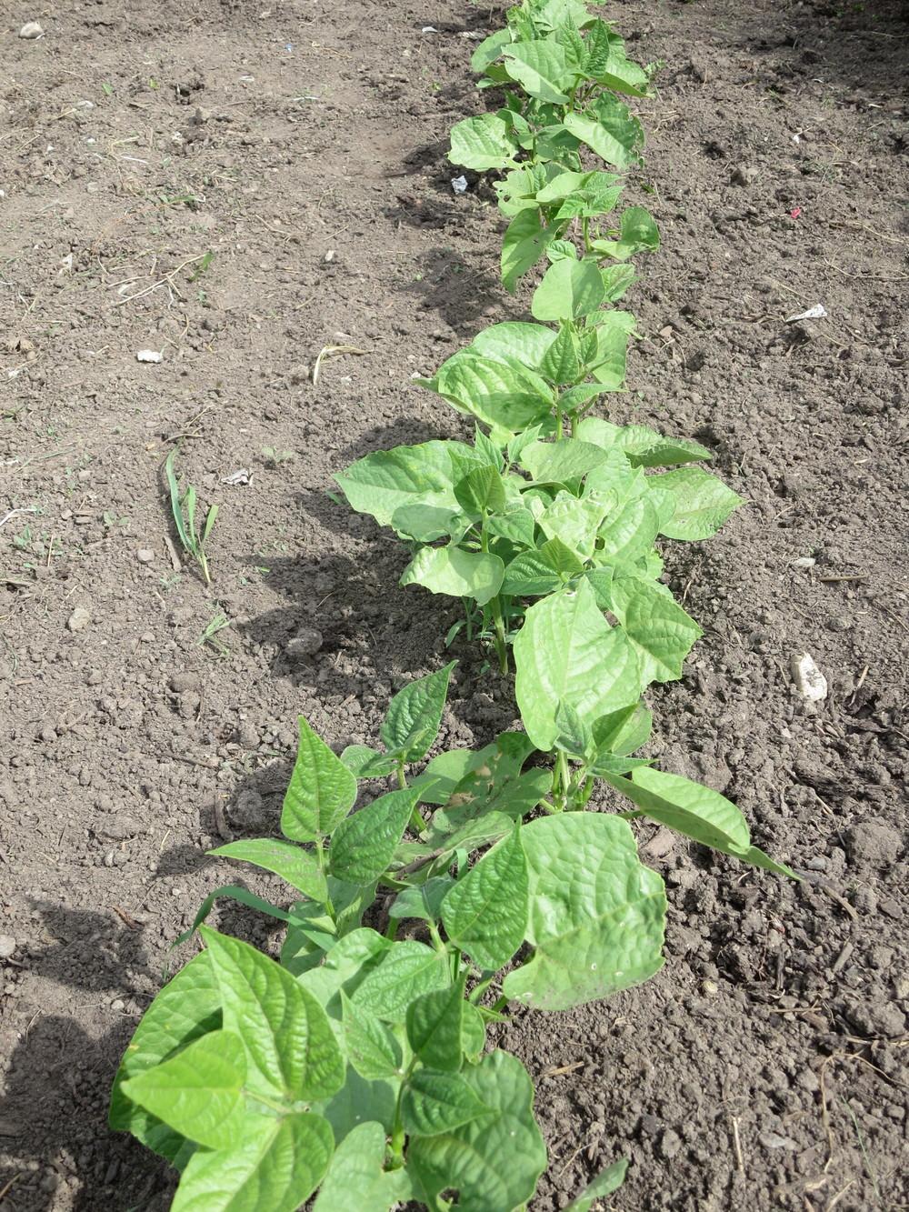 062116_Bush Beans.JPG