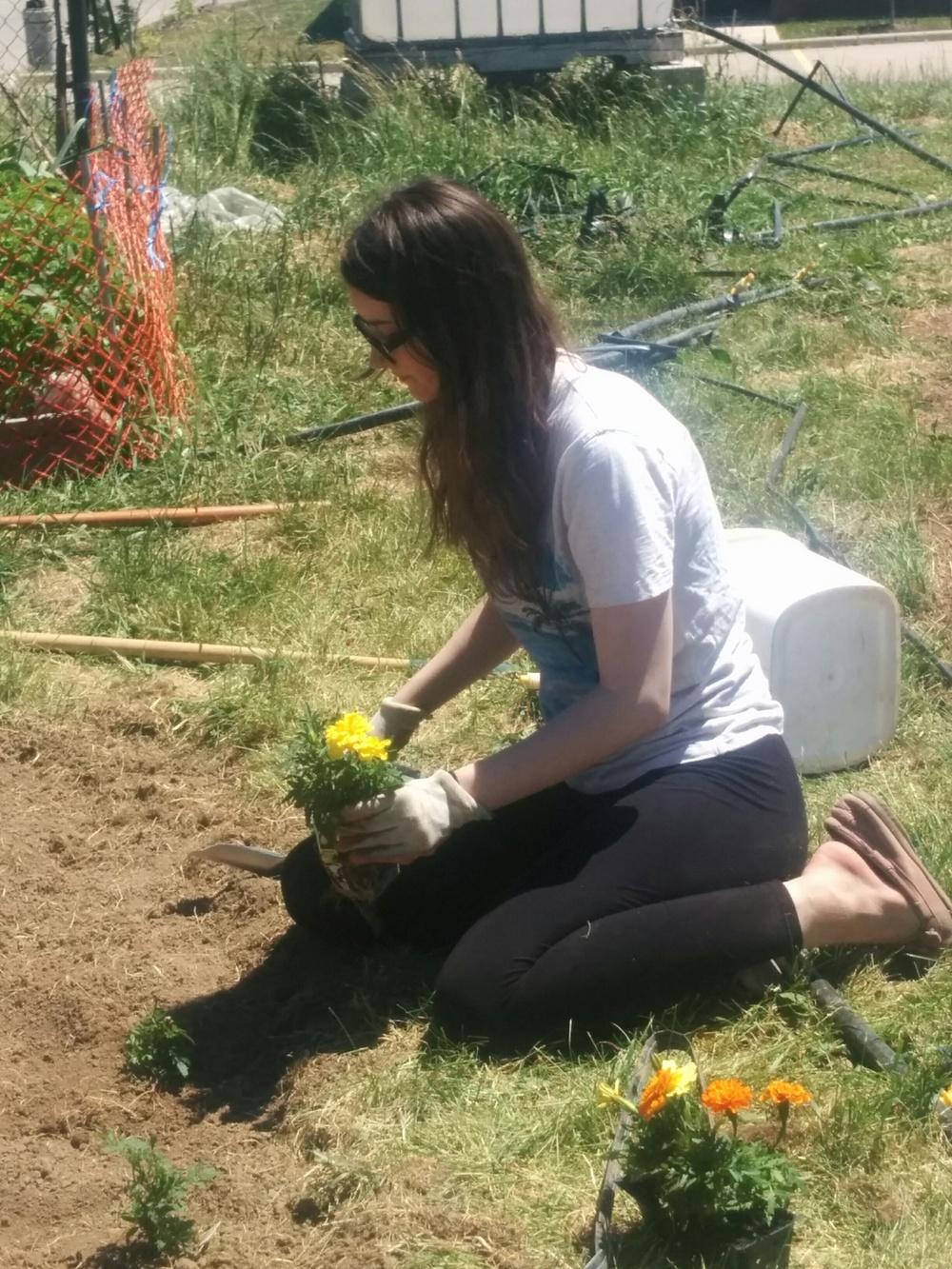 062216_Rebecca Planting MORE Marigolds.jpg