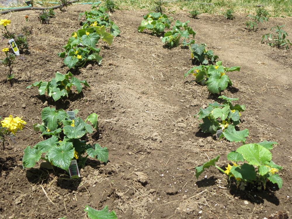 062916_Pickling Cucumbers.JPG