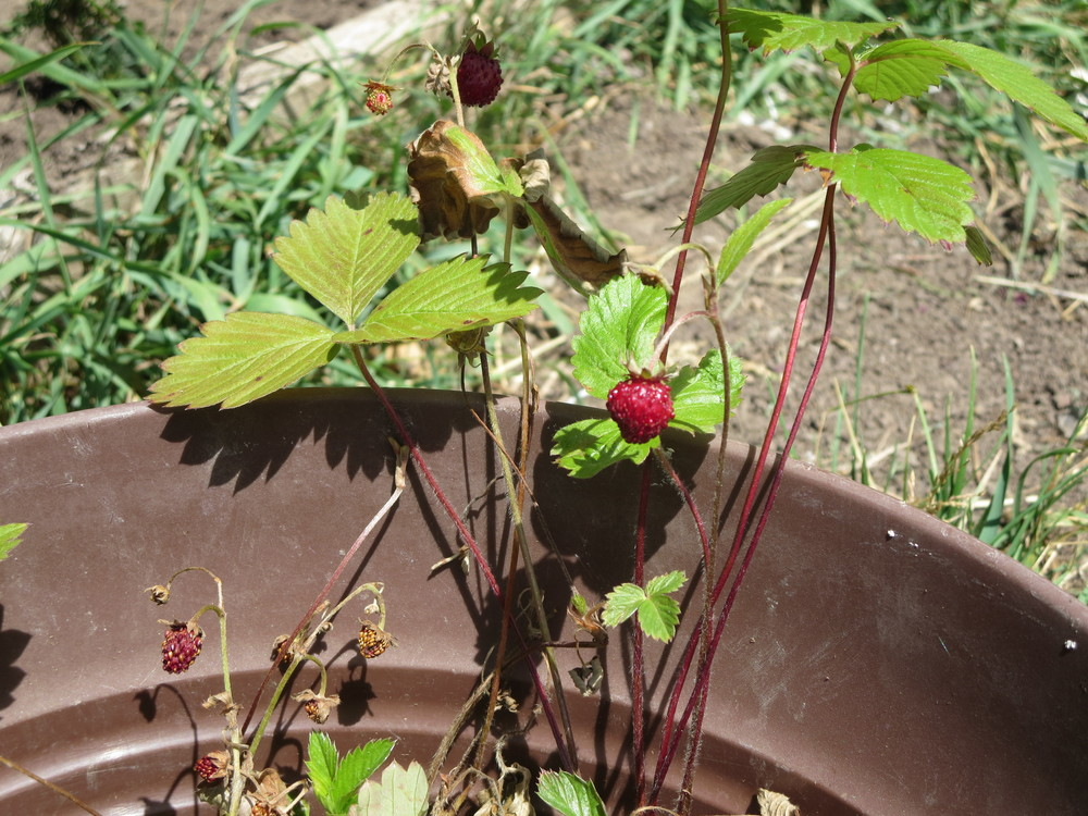 062916_Wild Strawberry Plant.JPG