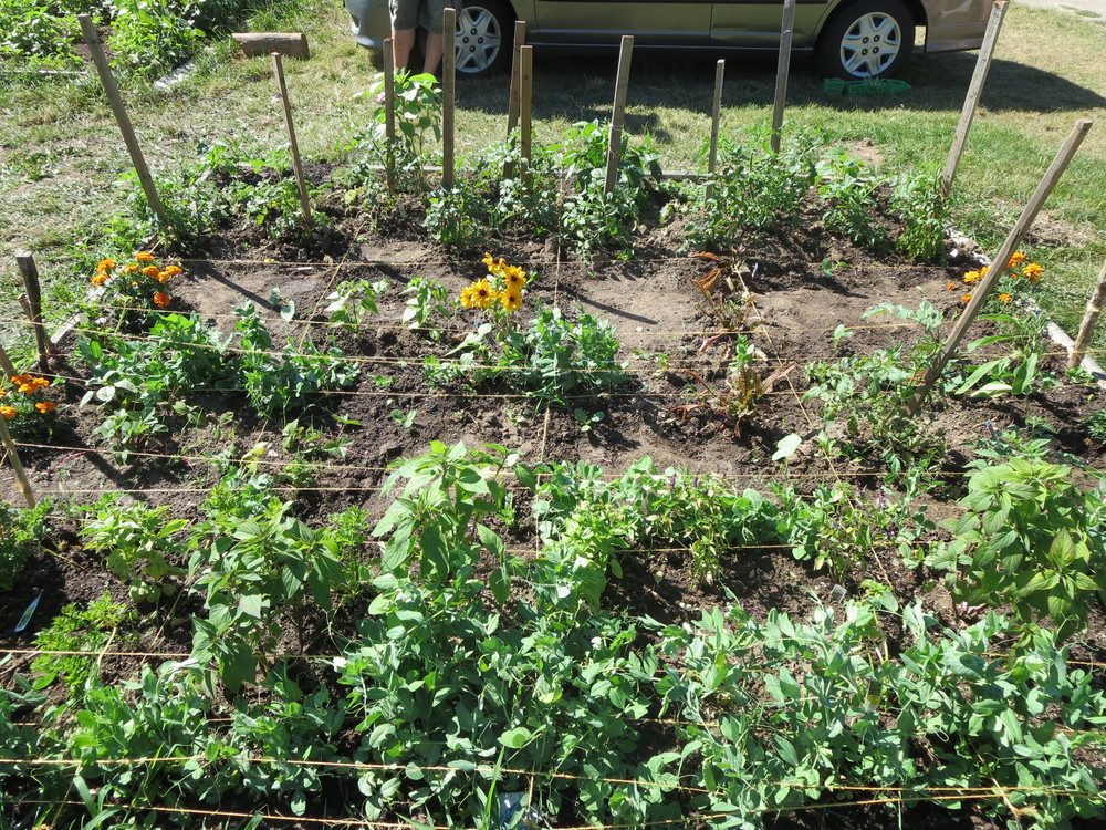 071816_Plot filled with peas, tomatoes, flowers, herbs and beans.JPG