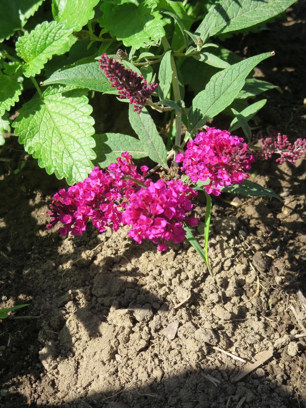071816_Butterfly Bush.JPG