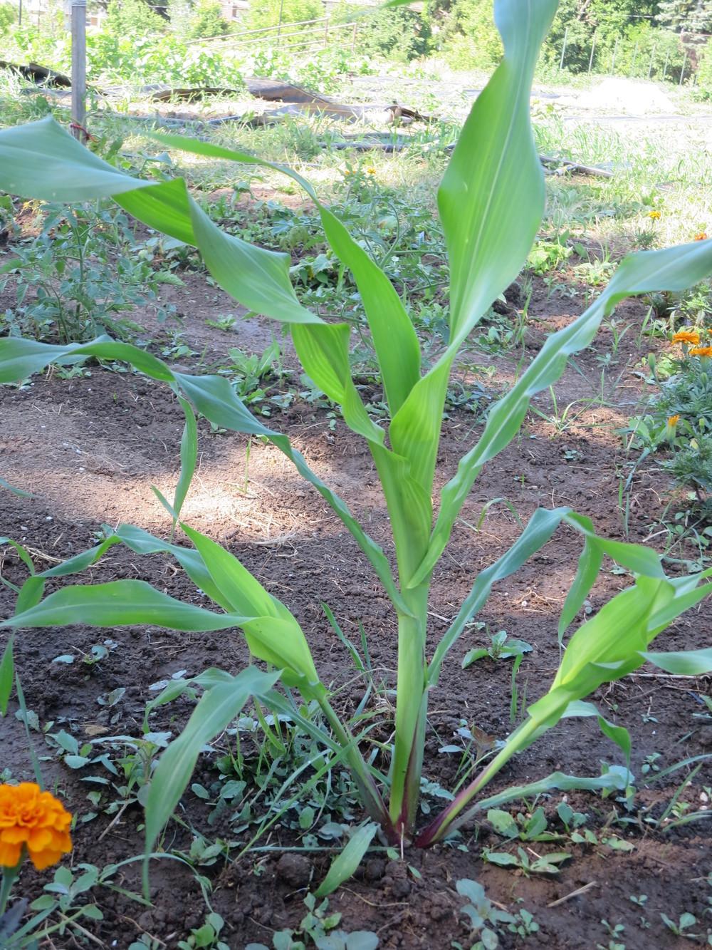 071816_Haudenosaunee White Corn - from Six Nations.JPG