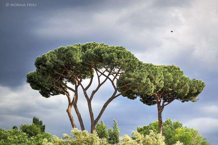 """IT265: """"Rome: Umbella pines"""""""