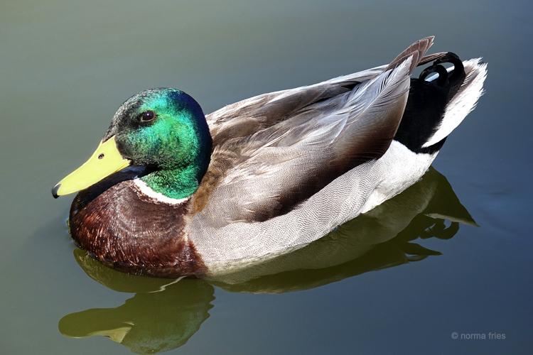 """LN906: """"Duck"""""""