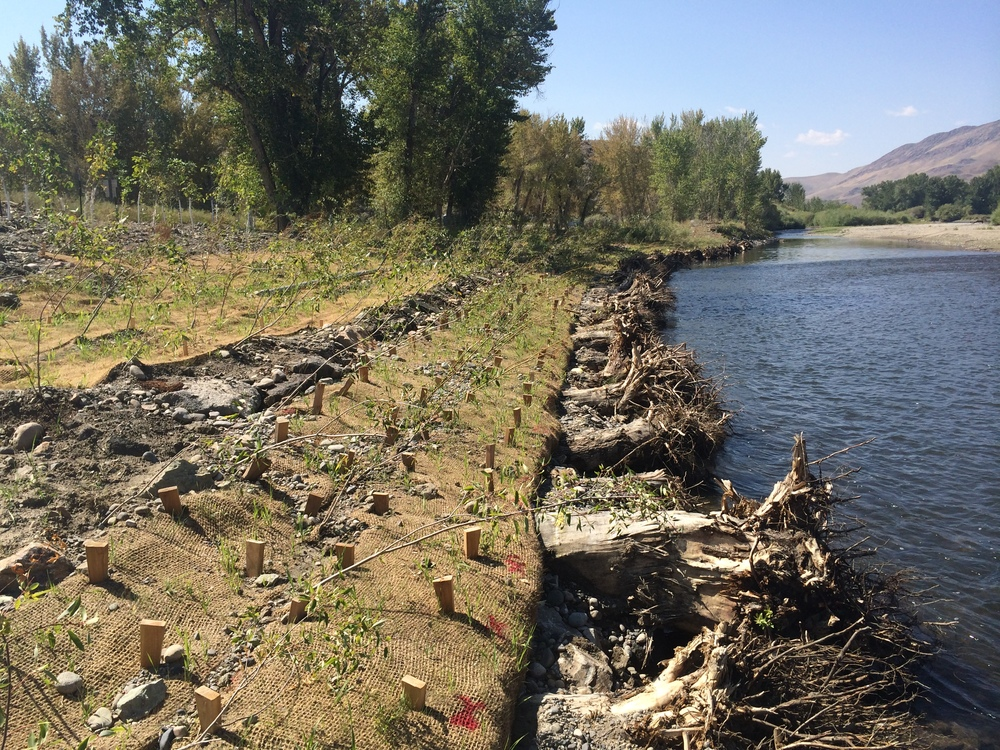 Bank stabilized by logs with rootwads, erosion control fabric, and willow plantings