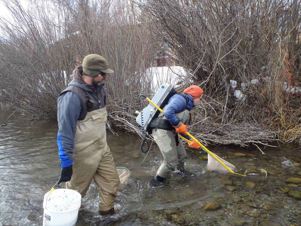 Electrofishing to determine trout populations and locations in the creek