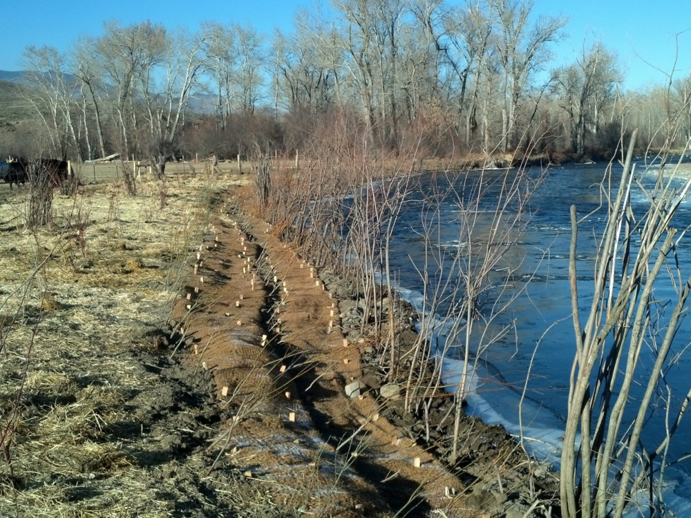 After - the bank is stabilized with many rows of willows, and fenced to protect the new plants from the cattle grazing in the meadow