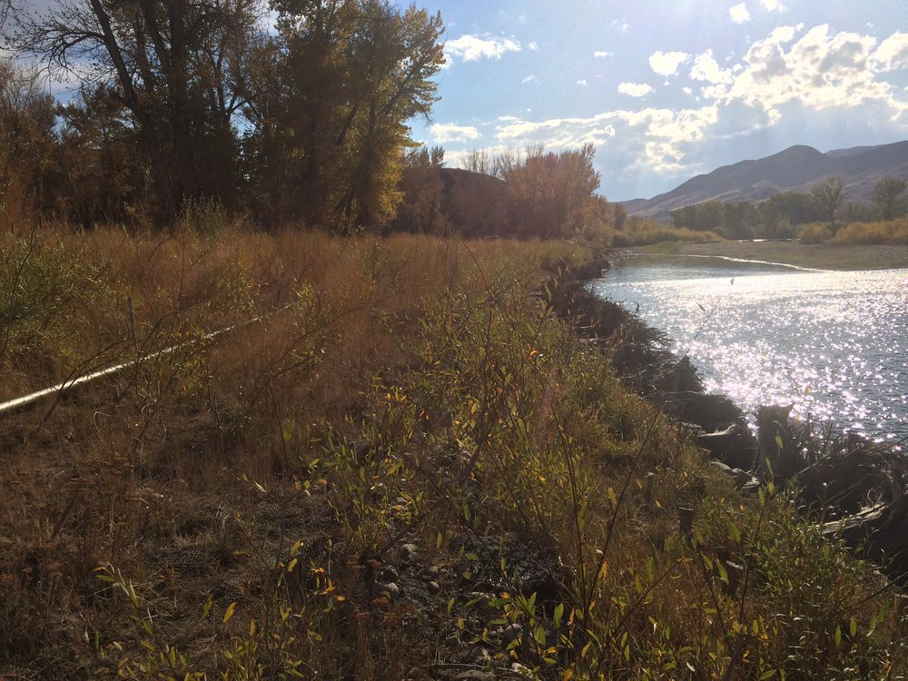 October, 2016. Willows are well established, seeding has been successful, and the bank stabilized.
