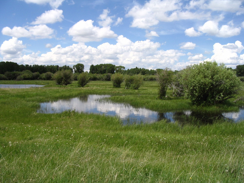 Restored wetland and shrubs