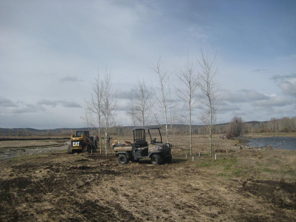 Planting aspens
