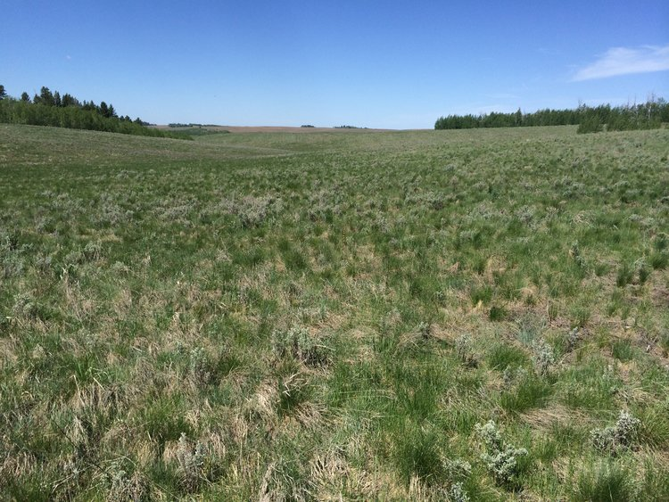Seeded native plants with sagebrush seedlings establishing for wildlife habitat restoration