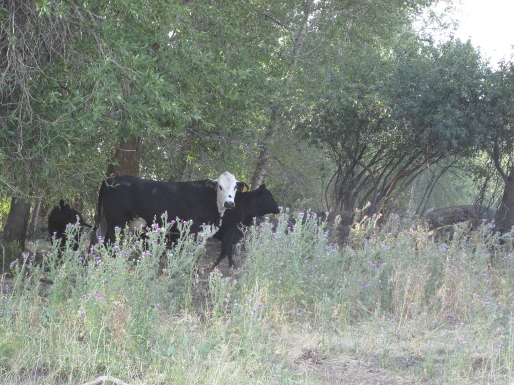 cattle grazing before habitat restoration