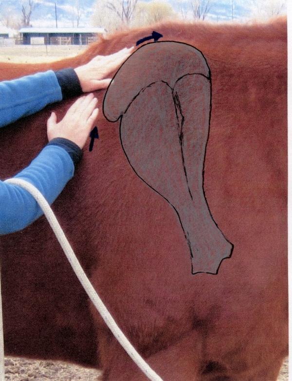 thorax between shoulder blades with bone drawn in.jpg