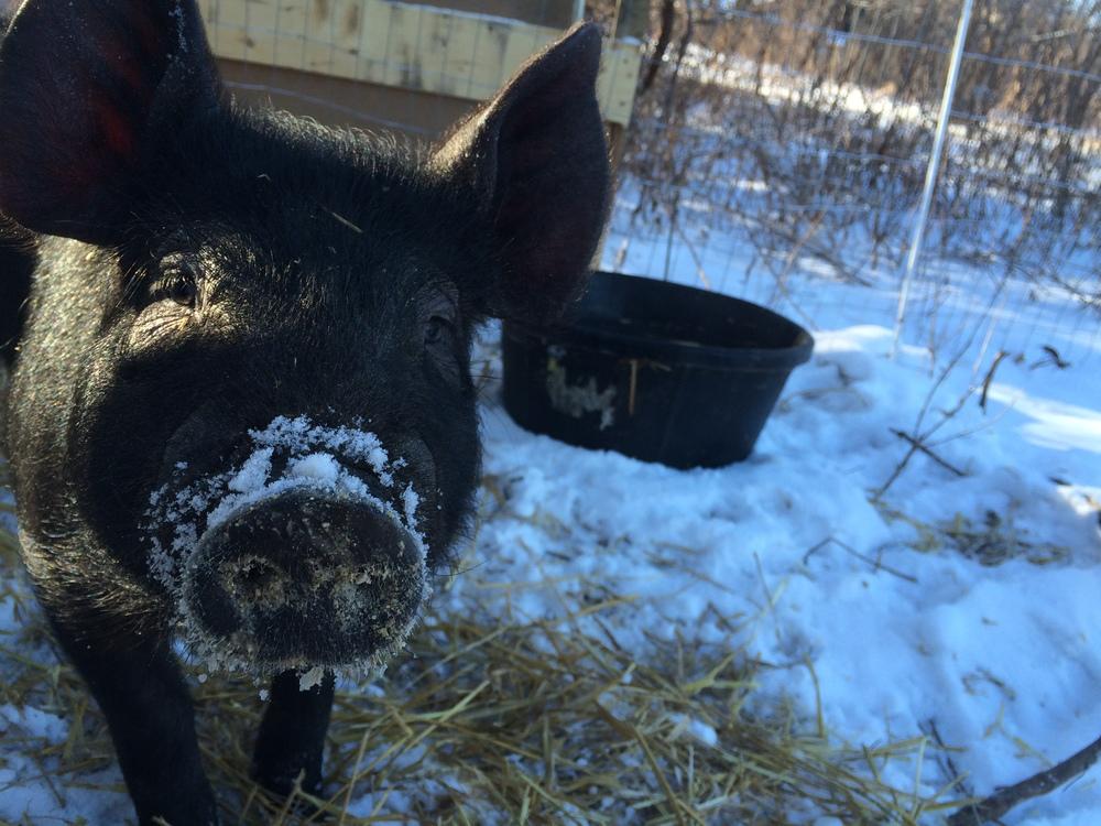 2016_pigs_snow.JPG