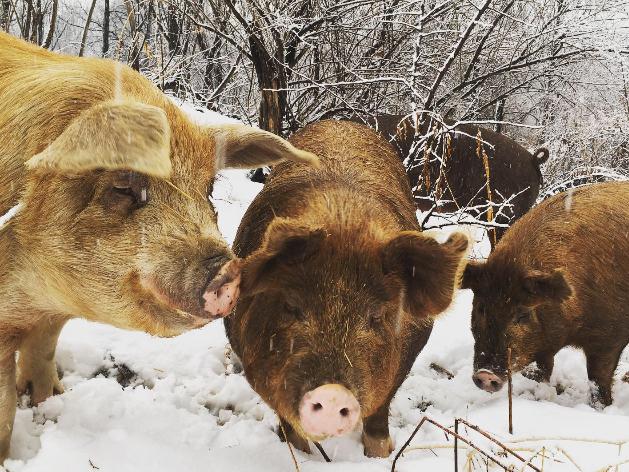 IMG-breeding pigs winter.jpg