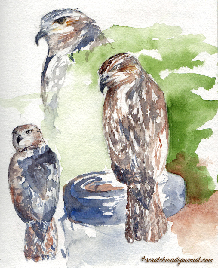 red tailed hawk watercolor study - scratchmadejournal.com
