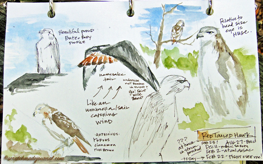 red tailed hawk nature journal page - scratchmadejournal.com