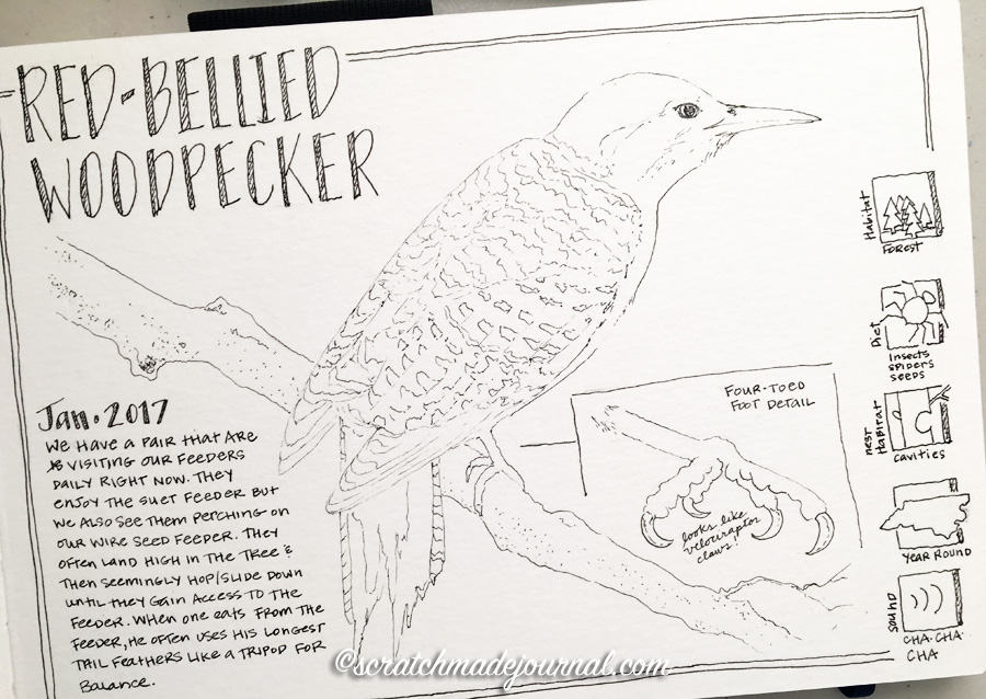 Red-bellied woodpecker sketch 3 ©scratchmadejournal.jpg