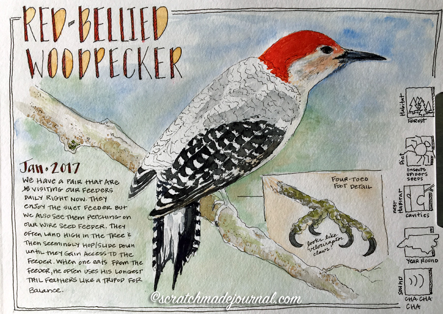 Red-bellied woodpecker sketch 6 ©scratchmadejournal.jpg
