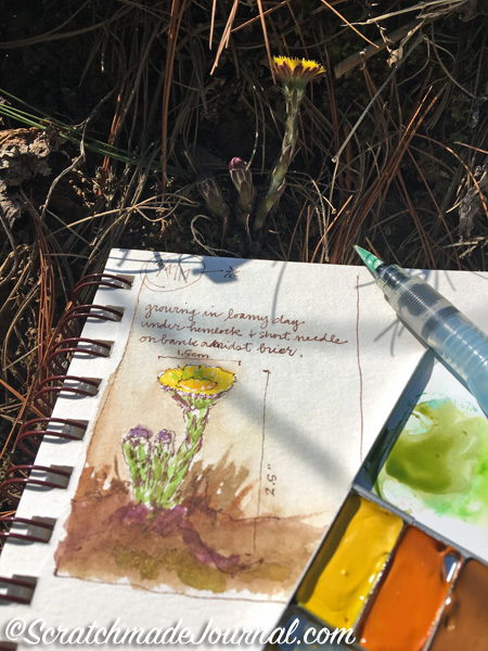 Sketching a Coltsfoot blossom using my filled Expeditionary Art Pocket Palette.