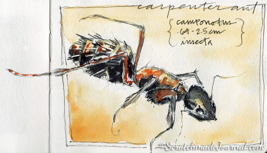 Carpenter ant watercolor sketch in the Hahnemühle Watercolor Book - ScratchmadeJournal.com