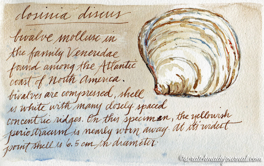 Disc clam nature journal watercolor sketch ©scratchmadejournal.jpg