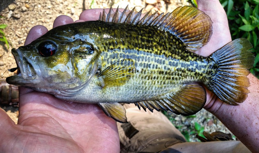 Rock Bass.                                                                                  Photograph by Bradford Wade