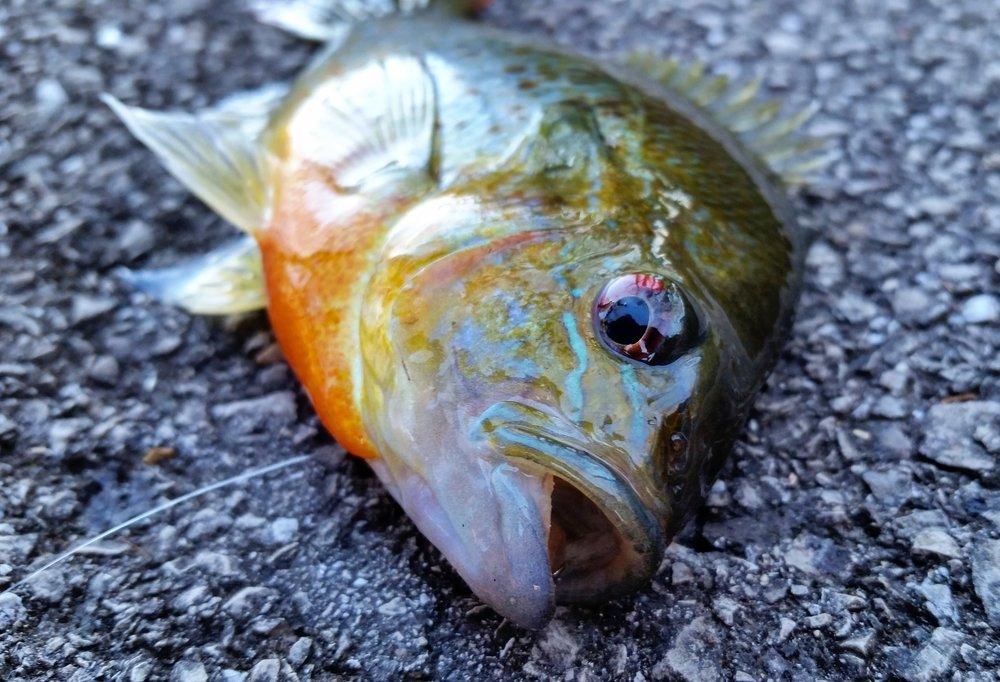 Panfish on the pavement!