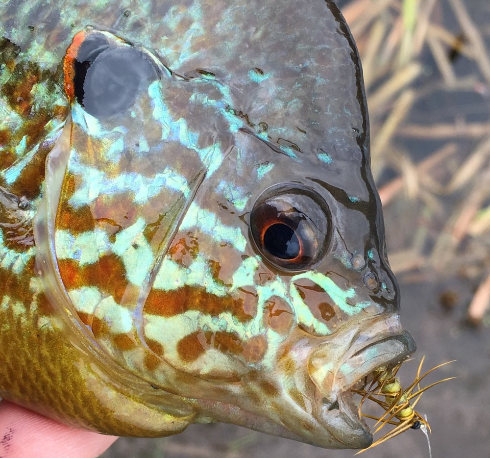 Bluegills and their sunfish cousins are stunning fish!