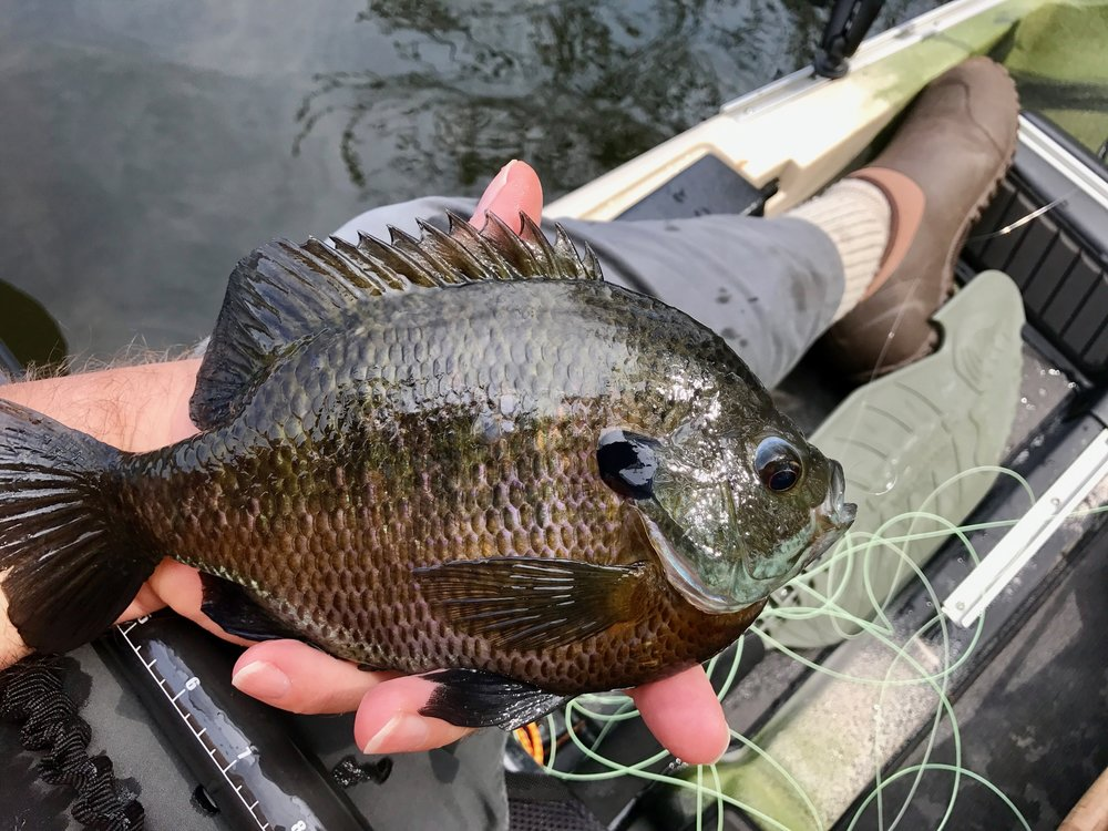 When bluegills get this size it is easy to understand why they are called panfish!