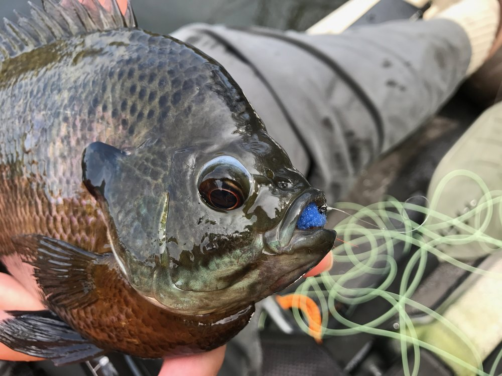 Another big bluegill seduced by the James Wood Bucktail!