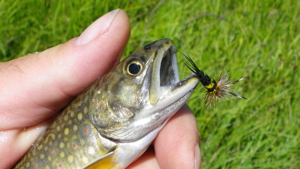 Trout don't fear the sting either!  A brook trout taken on Bob Jacklins deer hair bee.