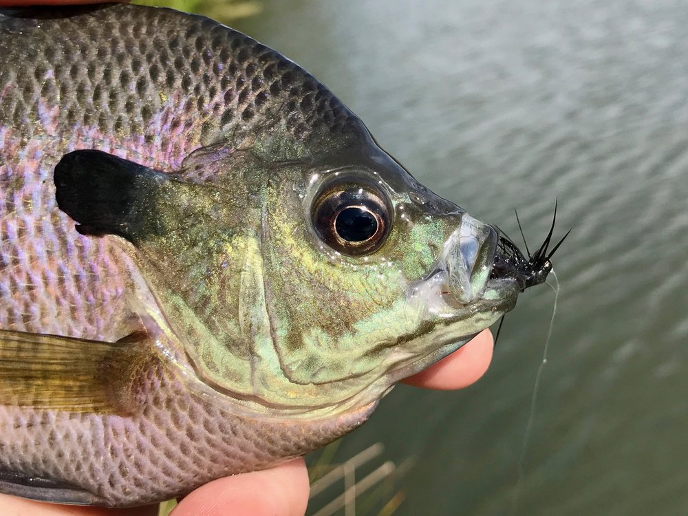 The extended body on the this fly creates a mouthful for most panfish. Expect a lot of hits that don't result in hookups. These are usually smaller fish determined to eat the fly, but simply cant fit the entire thing in their tiny mouths!.