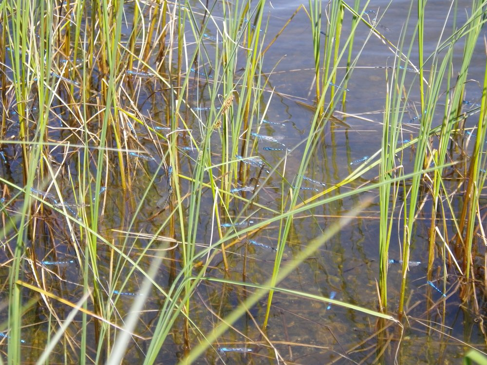 The incredible damselfly hatches of Grebe Lake, Yellowstone National Park