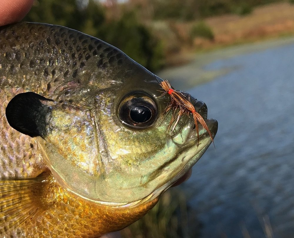 This fish was caught a version of the fly with the squirrel hair left long, extending over the eye of the hook.  The fly will catch fish any way you tie them!