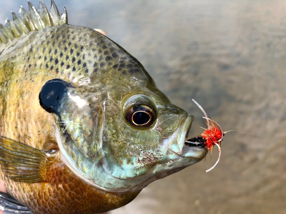 The Pepperoni Yuk Bug is a fantastic warm water fly pattern.