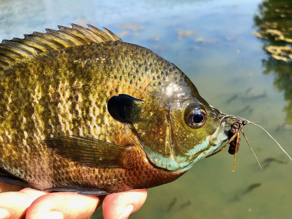 The Creature is a quite a mouthful for most panfish!