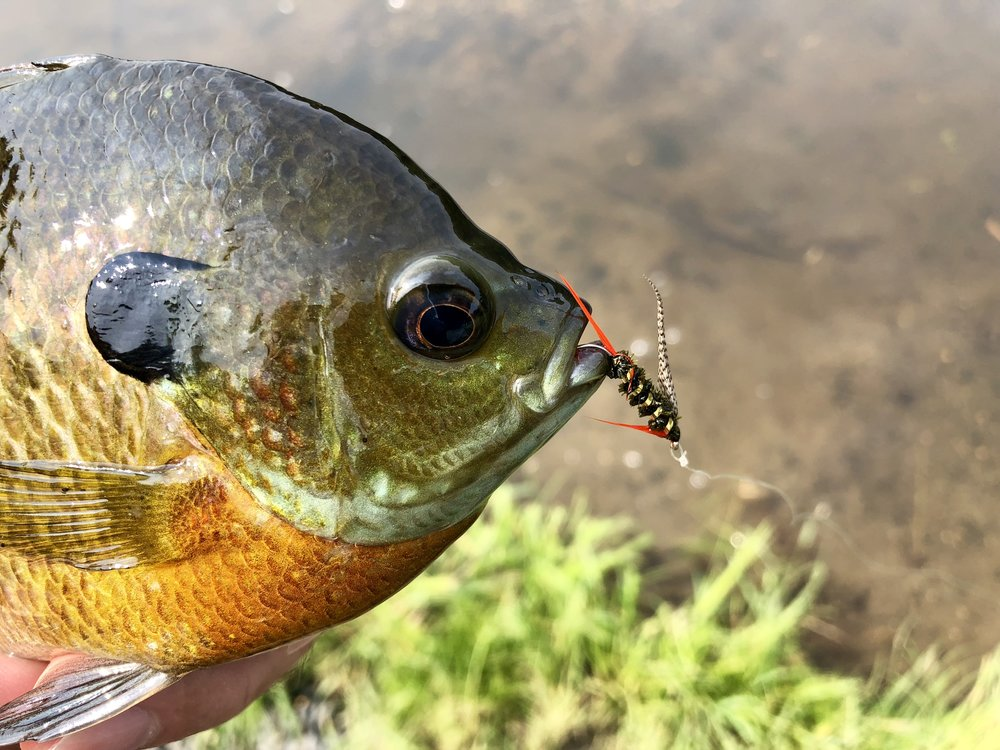 The Stayner Ducktail is a great pattern for probing deeper water in search of summertime bluegills.
