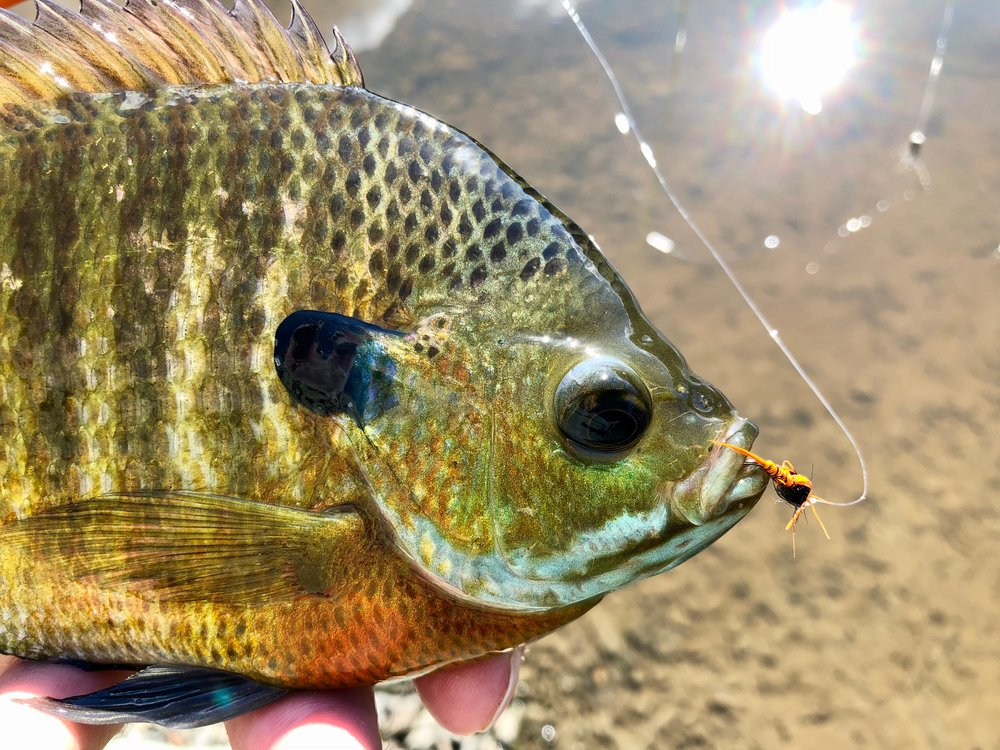 A well chewed Panfish Pheasant Tail nymph!