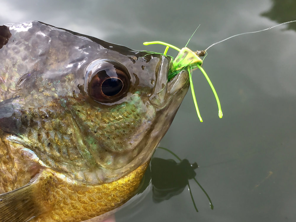 Panfish_on_the_Fly 3.jpg