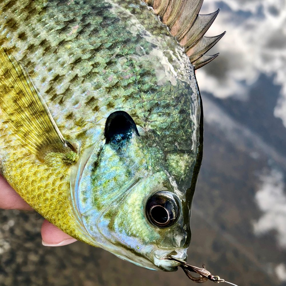 Wet Flies are my top choice for early season panfish.